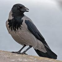 Одруження ворона (естонська казка)