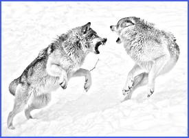 Два вовки й лис (українська народна казка)