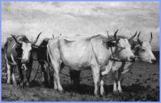 Як віл бігав наввипередки з конем (українська народна казка)